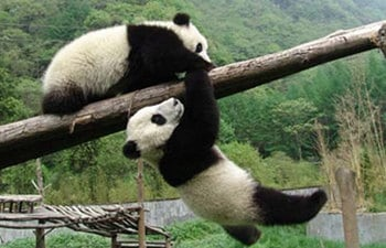 3 Days Chengdu Panda Tour