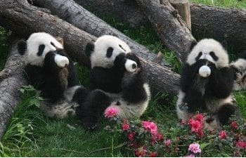 Half Day Chengdu Panda Tour