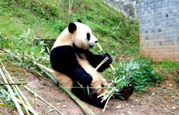 One Day Dujiangyan Panda Tour